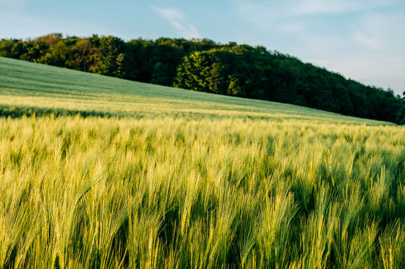 Aberdour Wheat Fields
