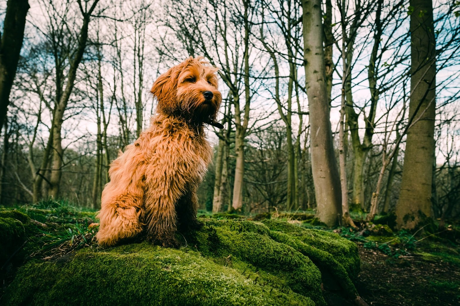 Cockerpoo puppy on a hill in the forest